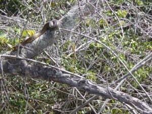 Anaconda su un ramo sporgente sul fiume aponwao